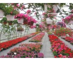 Muncitori in sere de flori
