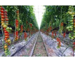Cultivare rosii cherry 1400 euro